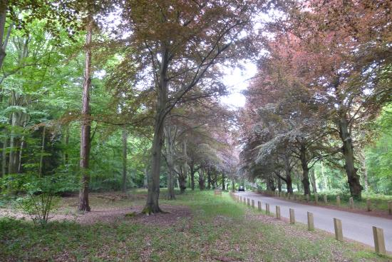 Brandon, UK: Copper Beech Avenue