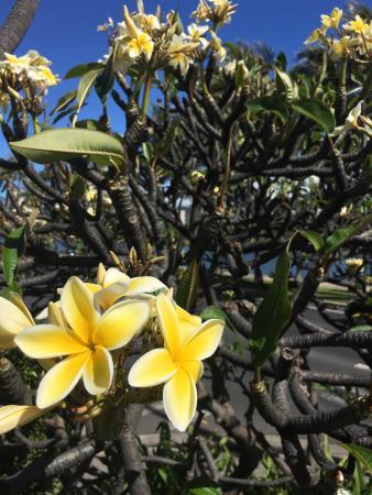 Waikiki Sand Villa Hotel: 敷地内に咲いていたプルメリア