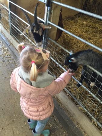 Bolton, UK: Feeding the goats
