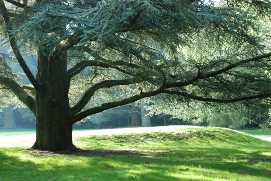 Brandon Country Park: Blue Atlas Cedar on the Lawn