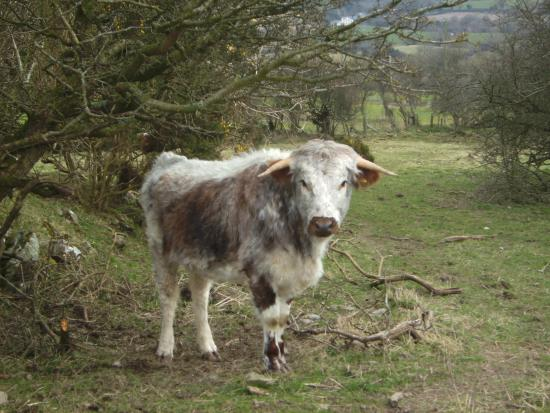 Offa's Dyke Path National Trail: Open field with a friendly resident near Rhuallt
