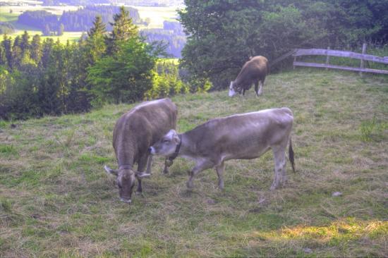 Eisenberg, Γερμανία: Cows grazing at their leisure