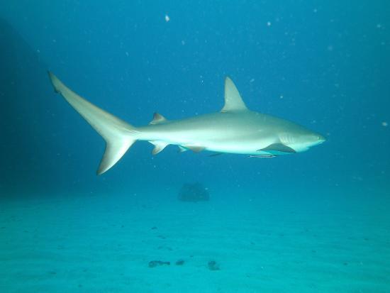 Simpson Bay, Saint-Martin / Sint Maarten: Shark; seen at Carib Cargo