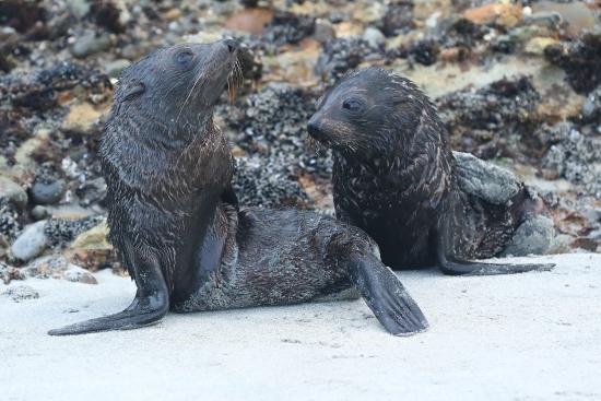 Golden Bay, Nya Zeeland: Seal pups