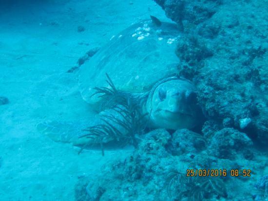 Jupiter, Floryda: tres grosse tortue et requin de recif a porter de la mains le recif est remplis de vies
