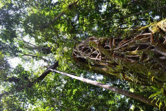 Луанг-Намта, Лаос: big tree