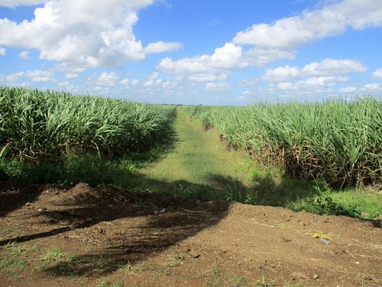 La Romana Province, Dominik Cumhuriyeti: CHAMPS DE CANNE A SUCRE LA ROMANA