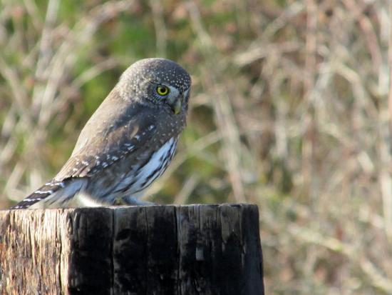 Ovenell's Heritage Inn: Pygmy owl on fencepost by the Fisherman cabin
