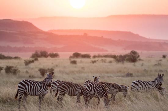 Zebras in the Masai Mara National Reserve - Picture of Freeman Safaris, Maasai  Mara National Reserve - Tripadvisor