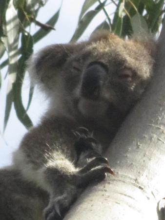 Myall Lakes National Park, Australia: Kenny the koala