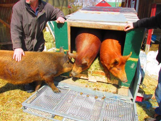 Au Cochon Rouge: des vrais cochon rouges