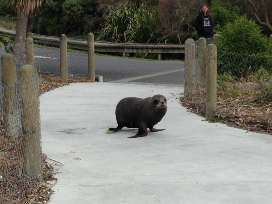 Panorama Motel: Seal on the path - a few minutes drive along the peninsula from the motel.