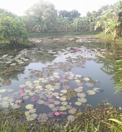 Battambang Resort: Lily Pond