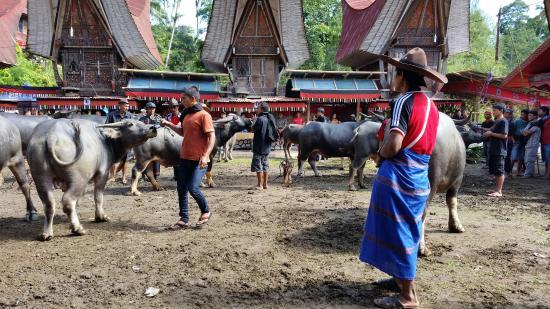 Sulawesi, Indonesien: Avant la cérémonie du sacrifice du boeuf