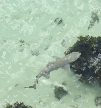 Praslin Island, Seychelles: requin