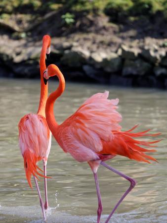 Alucinannnnnte mundo de las aves!!!! a que sí??? - Página 8 Flamant-rose