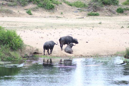 LeoLapa: Buffalo on the far bank of the Crocodile River
