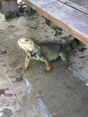 Las Casitas Village, A Waldorf Astoria Resort: Iguana on Palomino Island