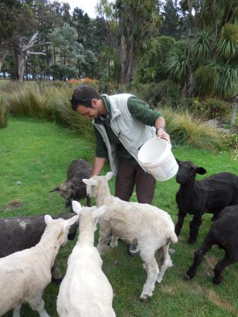 Pohatu Penguin Habitat: Many, many sheep
