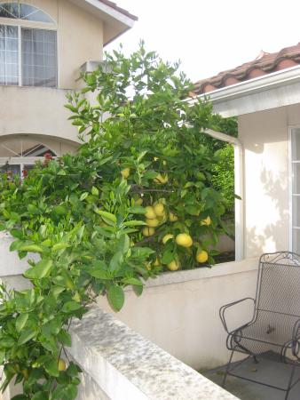 Garden Inn and Suites: citrus tree overhanging patio at front of suite