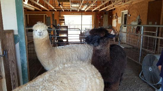 Destiny Alpaca Farm