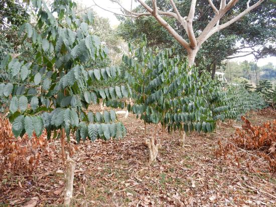 Kona Le'a Plantation: Coffee trees
