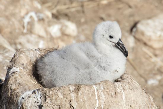 West Falkland, Falklandy: Black-browed albatross chick