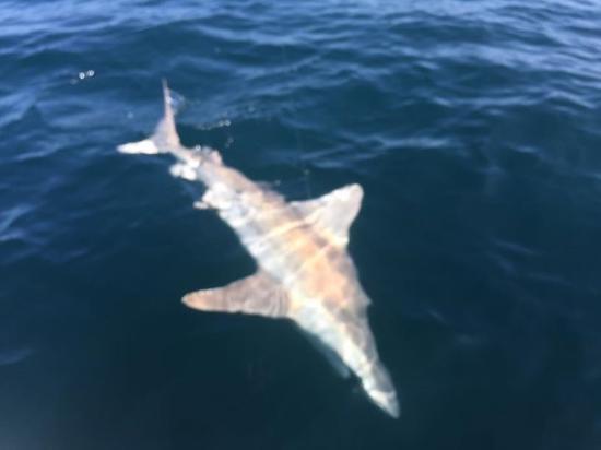 Port Saint Lucie, FL: 9 foot long tiger shark!