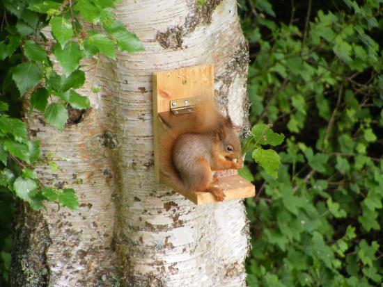 Netherfield Bed and Breakfast: Red Squirrel on our Birch Tree