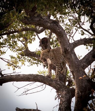 Mohlabetsi Safari Lodge: Leopard