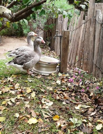 Orbost, Avustralya: Ducks enjoying their garden.