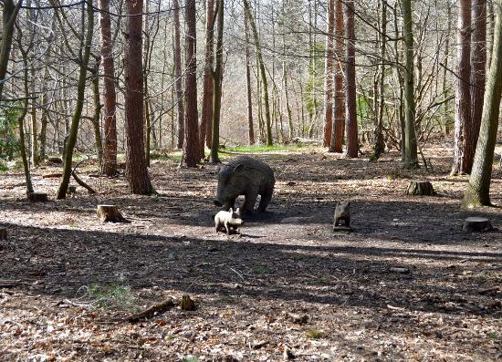 Broxbourne, UK: Wild boar family