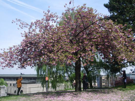 Cantón de Ginebra, Suiza: Цветущая сакура
