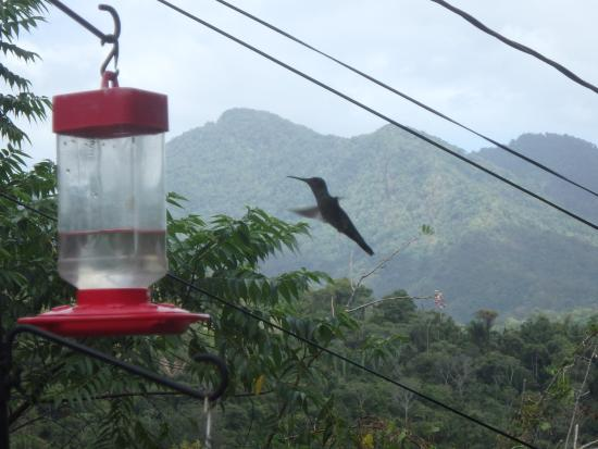 Maracas Bay, Тринидад: Hummingbirds are everywhere