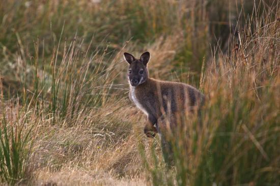 Legana, Αυστραλία: local night wildlife