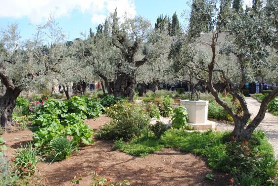 Garden of Gethsemane Picture of Garden of Gethsemane Jerusalem