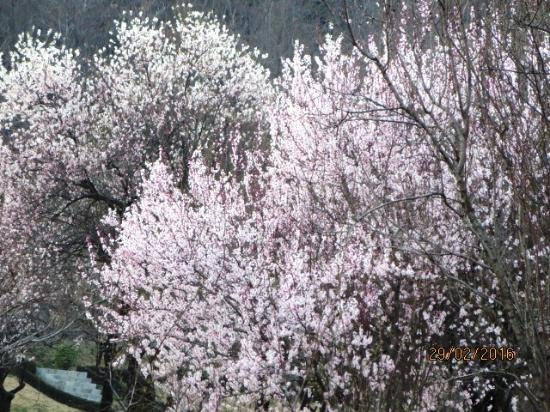full blooming almond tree picture of badamwari garden srinagar