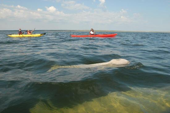 Manitoba, Canada: Kayaking with Beluga Whales in Churchill