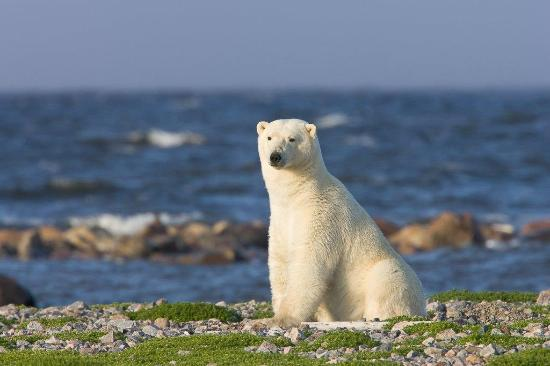 Manitoba, Canada: Polar Bear on a Summer Safari