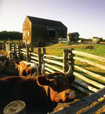 Elk River, Миннесота: Oxen at Kelley Farm