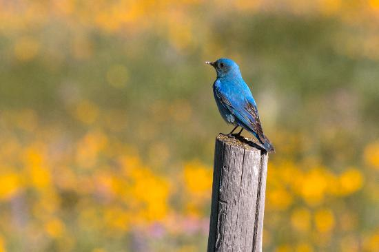 Island Park, ID: The bluebirds of happiness live here.