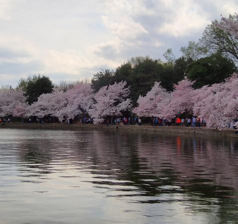 National Cherry Blossom Festival Washington Dc 2019 All You Need