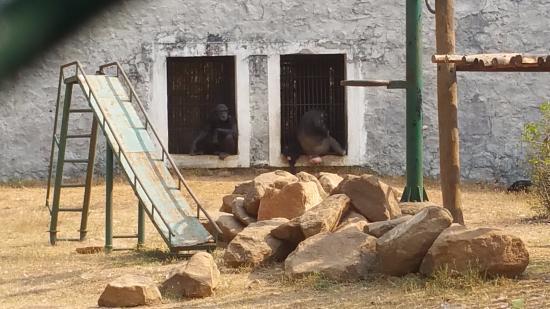 Nandankanan Zoological Park : Chimpanzee