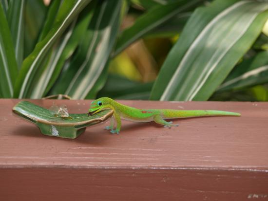Honu Kai B&B: Jeden Morgen warten die Geckos auf ihre Marmelade