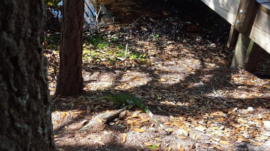 Wakodahatchee Wetlands: iguana