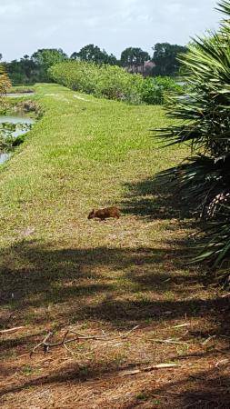 Wakodahatchee Wetlands: marsh rabbit