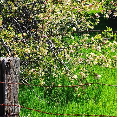 Volcan Mountain Wilderness Preserve: Flowering Tree