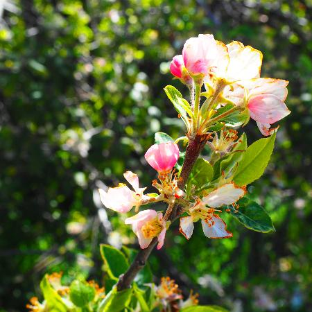 Volcan Mountain Wilderness Preserve: Bloom
