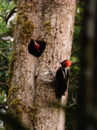 Monteverde, Costa Rica: Male and female Pale billed woodpecker at Ficus Trails
