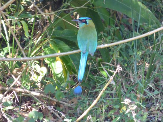 Monteverde, Costa Rica: Blue crowned Motmot at Ficus Trails